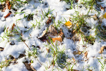 green grass with yellow leaves covered with snow
