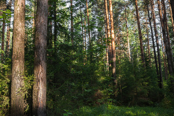 Close-up  fir and pine trees in forest in sunny summer morning.