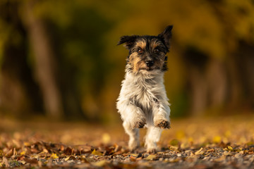 Jack Russell Terrier. Young cute dog is running fast through a tree avenue in the woods