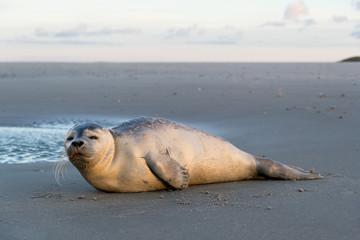 junger Seehund am Strand der niederländischen Insel Texel