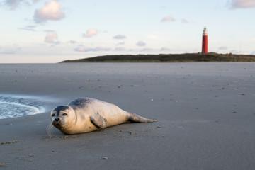 junger Seehund am Strand der niederländischen Insel Texel Wall mural