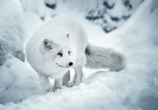 Adult polar fox on white snow unfocused background