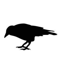 silhouette bird crow, isolated