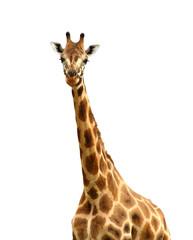 Isolated Giraffe Looking at Camera