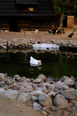goose swims in the pond on the farm
