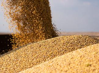 Fototapeta Pouring soy bean grain obraz