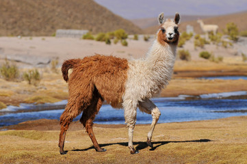Photo sur Aluminium Lama Llama (Lama glama) near the Laguna Colorada, Bolivia.