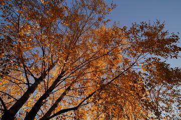 Drzewo jesienią z żołtymi liśćmi