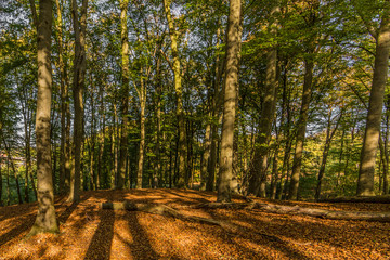 fantstic day of autumn in the forest with branches of trees and dry leaves on the ground with sunlight coming through the trees in Spaubeek in South Limburg in the Netherlands Holland