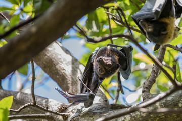 Australian fruit bat