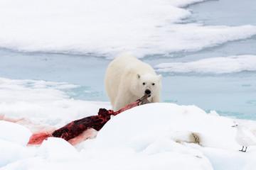Polar bear eating seal on pack ice