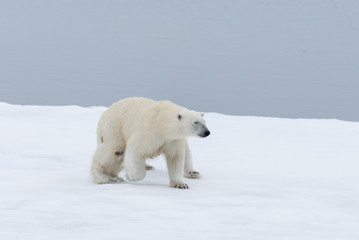 Polar bear injured on the pack ice, north of Svalbard Arctic Norway