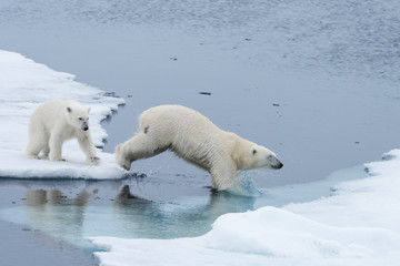 Wild Polar Bear and cubs jumping across the ice on the pack ice, north of Svalbard Arctic Norway