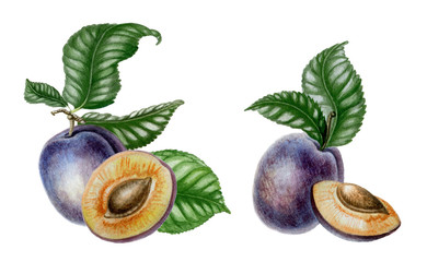 Compositions with sliced plums and leaves. Botanical art. Watercolor fruits isolated on white background. Can be used for textile, menu, postcards and other objects.