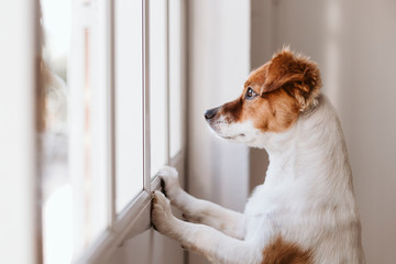 Spoed Fotobehang Hond cute small dog standing on two legs and looking away by the window searching or waiting for his owner. Pets indoors