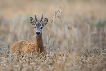 Foto op Aluminium Kangoeroe Roebuck - buck (Capreolus capreolus) Roe deer - goat