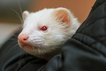 Pet albino ferret being petted in the hand