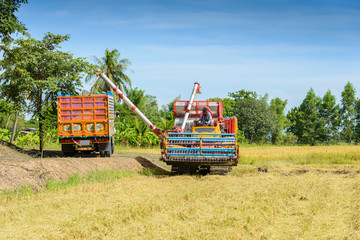 Harvest machine loading seeds in to trailer on rice field. Harvesting is the process of gathering a ripe crop