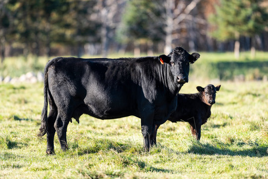Black Angus cow and calf