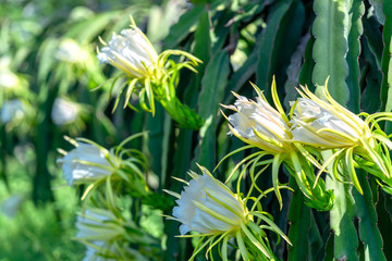 Dragon fruit flower in organic farm. This flower blooms in 4 days if pollination will pass and the left, this is the kind of sun-loving plant grown in the appropriate heat