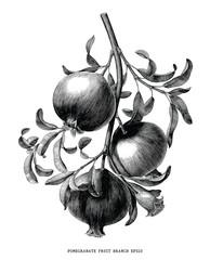 Pomegranate fruit branch botanical vintage engraving illustration isolated on white background