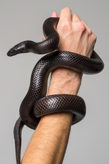 The royal serpent, Nigrita, encircles the male hand. Gray background.