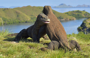 The Fighting of Comodo dragons (Varanus komodoensis) for domination. Island Rinca. Indonesia.