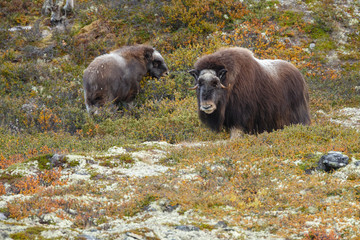 Musk-ox in a fall colored setting at Dovrefjell Norway