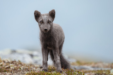 Arctic fox in a fall setting on a cold part of Norway