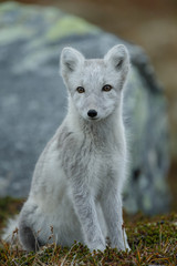 Arctic fox in a autumn setting in the arctic part of Norway