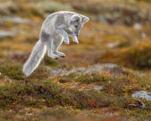 Arctic fox living in the arctic part of Norway, seen in autumn setting.