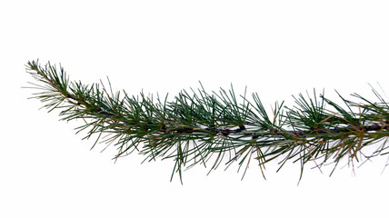 larch branch on white background