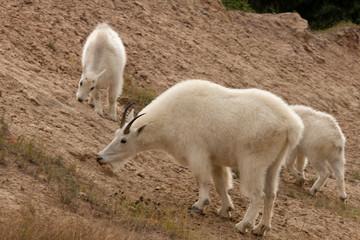 Snow goat, Oreamus americanus