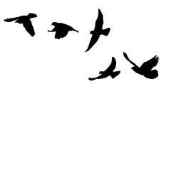 vector, isolated, black silhouette many bird flying