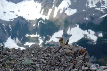Chipmunk in Canada