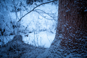 Closeup of snowy spruce tree in the winter forest.