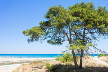 Alimini Grande, Apulia - A fir tree at the beach of Alimini Grande