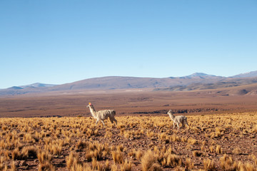 Mother and baby llama with colourful ear tassels, walking across field in front of mountains in Bolivia, South America