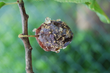 Fruchtbefall mit Pflaumenwickler am Pflaumenbaum