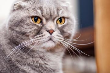 Yellow-eyed Scottish Fold male cat close-up portrait