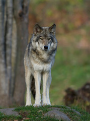 Spoed Fotobehang Wolf A lone Timber wolf or Grey Wolf (Canis lupus) standing on a rocky cliff in autumn in Canada