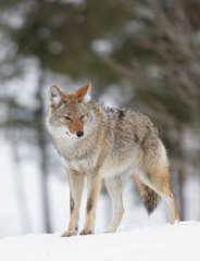A lone coyote (Canis latrans) walking and hunting in the winter snow in Canada