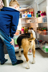 funny boy and beagle dog are looking into the open fridge