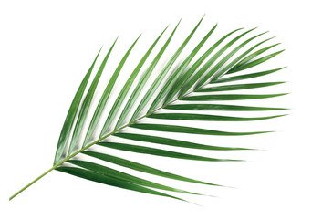 Green leaves of palm isolated on white background.