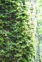 A deep forest trunk bark covered with green dense moss, lighted by sun, during a summer day, in Cañon de Añisclo, Pyrenees mountains, Aragon, Spain