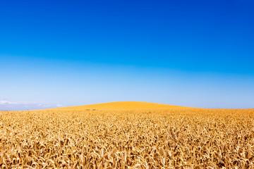 UK, Scotland, East Lothian, field of wheat