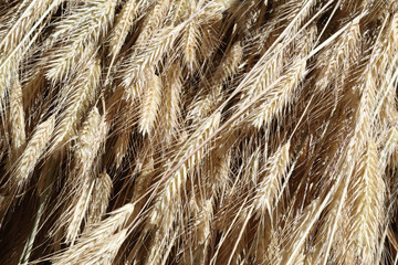 A close view of a bundle of yellow wheat spikes and stems drying at the sun during a summer day