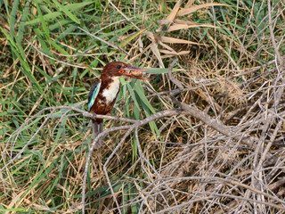White-throated Kingfisher Perched in reeds