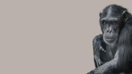 Portrait of curious wondered Chimpanzee at smooth uniform background, extreme closeup, details, paste space
