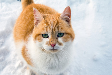 Beautiful white and red cat in the snow.